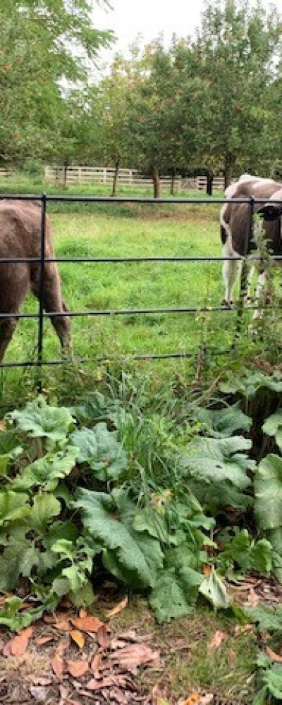 cows in swanbourne farm